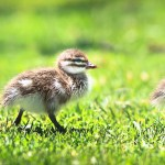 Australian-Wood-Ducklings-Yanchep-National-Park-Perth-YWP1.1-V1-PH1