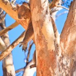 Hanging-Around-Yanchep-National-Park-Perth-YPW2.5-V1-TV1