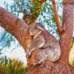 Hug-Yanchep-National-Park-Perth-YPW2.14-V1-