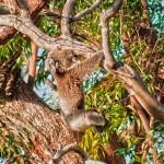 Just-Hangin-Yanchep-National-Park-Perth-YPW1.1-V3-TH1