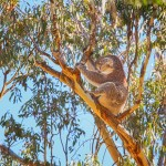 Just-Sitting-Yanchep-National-Park-Perth-YPW2.11-V1-