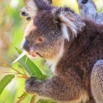 Koala-Yanchep-National-Park-Perth-YPW2.1-V1-TV1