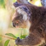 Koala-Yanchep-National-Park-Perth-YPW2.2-V1-TV1
