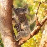 Koala-and-Joey-Yanchep-NP-Perth-YPW1.26-V1-TH1