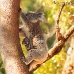 Koala-and-Joey-Yanchep-NP-Perth-YPW1.26-V1-TH1