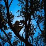 Koala-and-Joey-Yanchep-National-Park-Perth-YPW1.28-V1-TH1