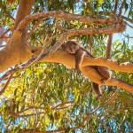 Lifes-Hard-Yanchep-National-Park-Perth-YPW2.7-V1-TH1