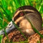 Pacific-Black-Duck-Yanchep-National-Park-Perth-YPW1.11-V3-TH1