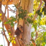 Sleepy-Head-Yanchep-National-Park-Perth-YPW2.6-V1-TV1