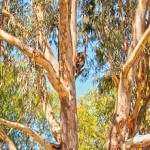 Spot-the-Koala-Yanchep-National-Park-Perth-YPW2.4-V1-PV1