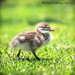 Wood-Ducklings-Yanchep-National-Park-Perth-YWP1.1-V1-SQ1